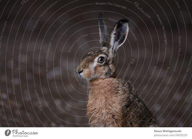 Meister Lampe Umwelt Natur Frühling Sommer Feld Wald Tier Wildtier Tiergesicht Fell Hase & Kaninchen 1 beobachten hören Blick sitzen braun grau Hasenohren