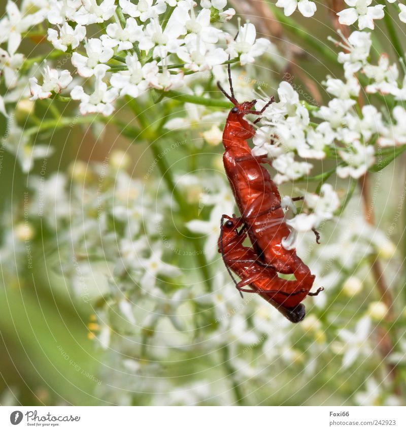 Weichkäfer im Glück Natur Tier Sonnenlicht Sommer Pflanze Wiese Feld Wildtier Käfer 2 Tierpaar Bewegung Zusammensein grün rot weiß Begeisterung Tierliebe
