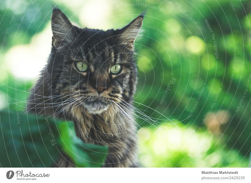 Amy Tier Haustier Katze maincoon 1 beobachten Blick sitzen schön kuschlig braun grün Tierliebe ruhig Gelassenheit Farbfoto Gedeckte Farben Außenaufnahme