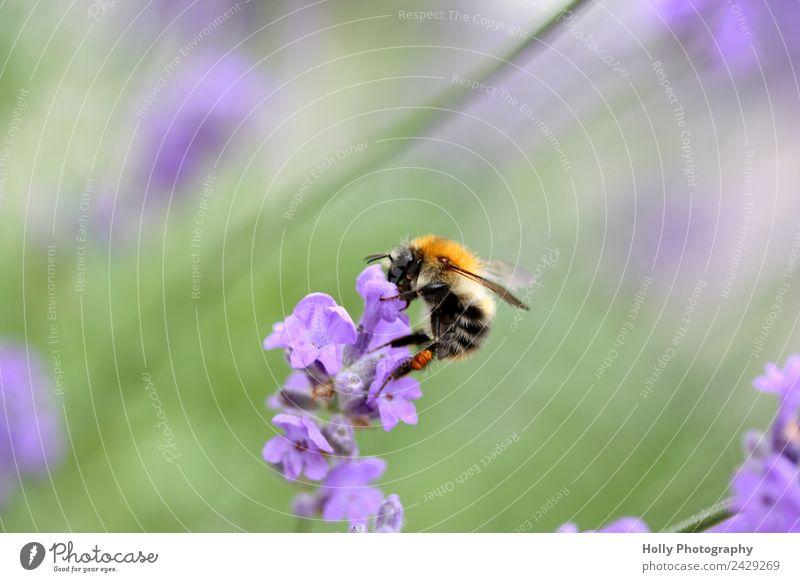 fleißige Biene Natur Tier Frühling Sommer Pflanze Blume Blüte Garten Park Wiese Feld Wildtier Arbeit & Erwerbstätigkeit beobachten Bewegung Blühend Duft