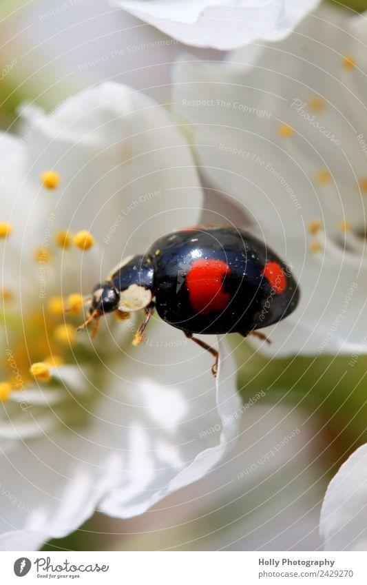 Marienkäfer auf Erkundungstour Umwelt Natur Pflanze Tier Käfer 1 klein winzig Punkte Blüte Kirschblüte krabbeln Glück Frühling Frühlingsgefühle lieblich schwarz