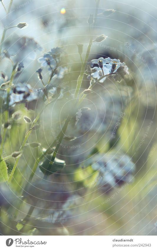 Blumenmeer Natur Pflanze Sommer Vergißmeinnicht Garten blau grün Blüte Blütenknospen Blühend Farbfoto Nahaufnahme Detailaufnahme Menschenleer Textfreiraum oben
