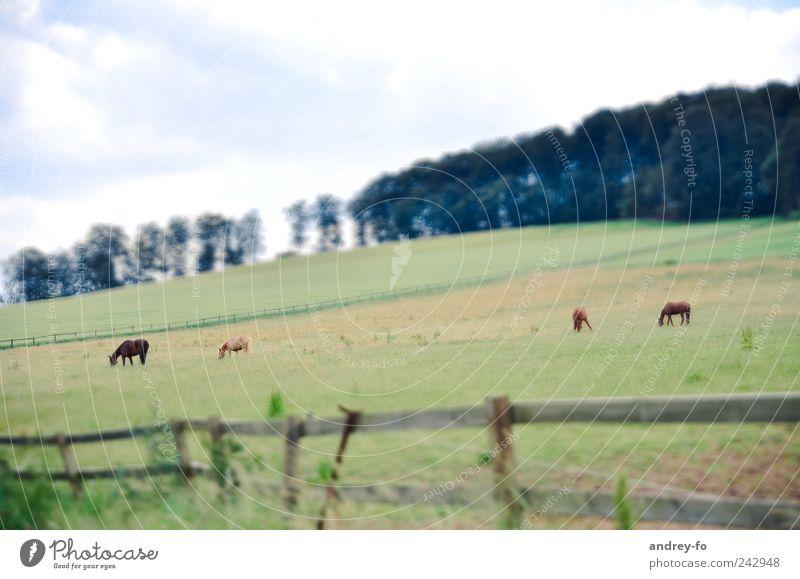 Auf dem Feld. harmonisch Landwirtschaft Forstwirtschaft Landschaft Himmel Sommer Wiese Wald Menschenleer Tier Haustier Pferd 4 Tierfamilie Schranke Holz Gras