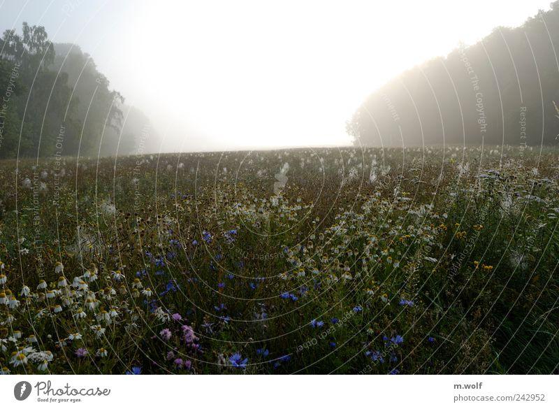 Sommermorgen Natur Landschaft Pflanze Sonnenlicht Wetter Nebel Blume Blüte Nutzpflanze Wildpflanze Kornblume Kamille Feld Wald gelb grün weiß Stimmung Horizont