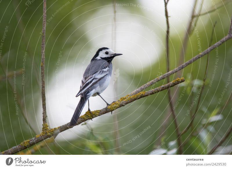 Vogel auf einem Zweig 3 Natur Tier Frühling Baum Sträucher Garten Park Wildtier Flügel Krallen 1 stehen Tierliebe Bachstelze Farbfoto Außenaufnahme