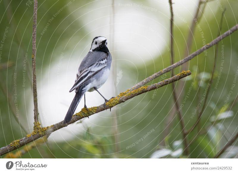 Vogel auf einem Zweig 2 Natur Tier Frühling Baum Sträucher Garten Park Wildtier Flügel Krallen 1 stehen elegant grau grün schwarz weiß Zufriedenheit Bachstelze