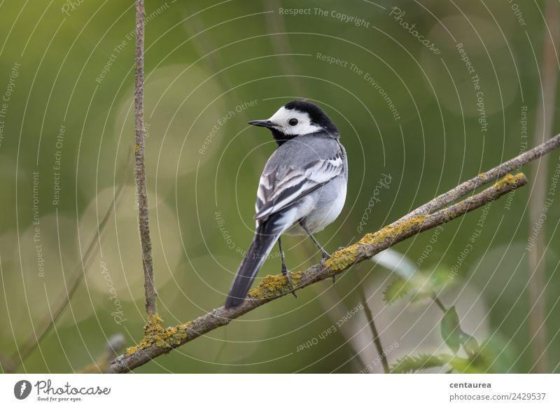Vogel auf einem Zweig 1 Natur Tier Frühling Baum Sträucher Garten Park Wildtier stehen grau grün schwarz weiß Zufriedenheit Erholung Bachstelze Farbfoto