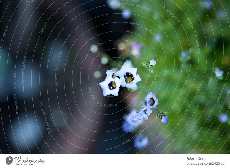 Sternenhimmel Natur Pflanze Blume Blüte Topfpflanze Garten blau braun grün Farbfoto Außenaufnahme Nahaufnahme Detailaufnahme Menschenleer Tag
