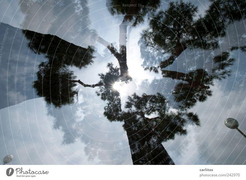 Foto kaufen Sonne Sommer Schönes Wetter Baum ästhetisch Pinie Doppelbelichtung blenden Laterne mediterran Mallorca überlagert schwarz weiß Froschperspektive Ast