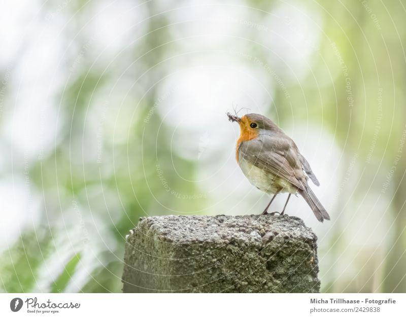 Rotkehlchen mit gefangenem Insekt Natur grün Sonne weiß Baum Tier gelb Auge natürlich klein Vogel orange Wildtier stehen Feder Schönes Wetter