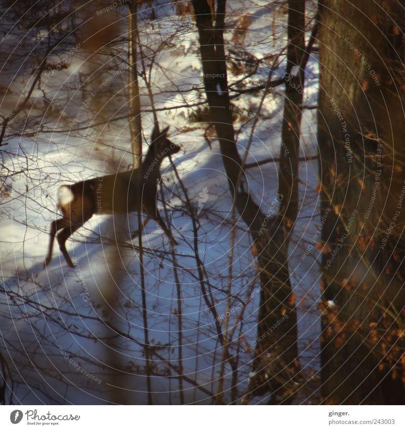 run. weiß Tier Wald Schnee Tierjunges braun gehen Wildtier laufen Geschwindigkeit bedrohlich Schutz Flucht Reh verdeckt Zweige u. Äste