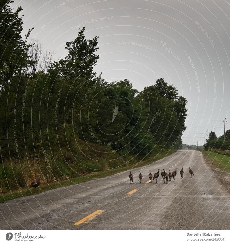 Straßenblockade Natur Tier Wald Straße Vogel Wildtier laufen Tiergruppe Asphalt Zusammenhalt Mut Risiko Verkehrswege Straßenbelag tierisch Flucht