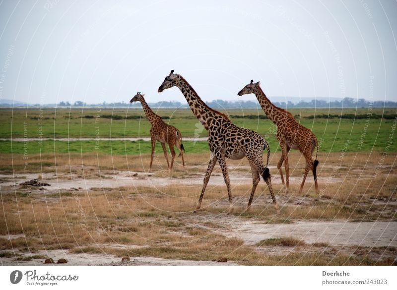 Durststrecke Himmel Sommer Ferien & Urlaub & Reisen Ferne Tier Freiheit Gras Sand Erde gehen Ausflug Tiergruppe Schönes Wetter Sommerurlaub Safari Giraffe