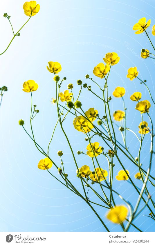 Butterblumen und Himmel Natur Pflanze Frühling Sommer Schönes Wetter Blume Blatt Blüte Sumpf-Dotterblumen Hahnenfußgewächse Wiese Blühend verblüht dehydrieren