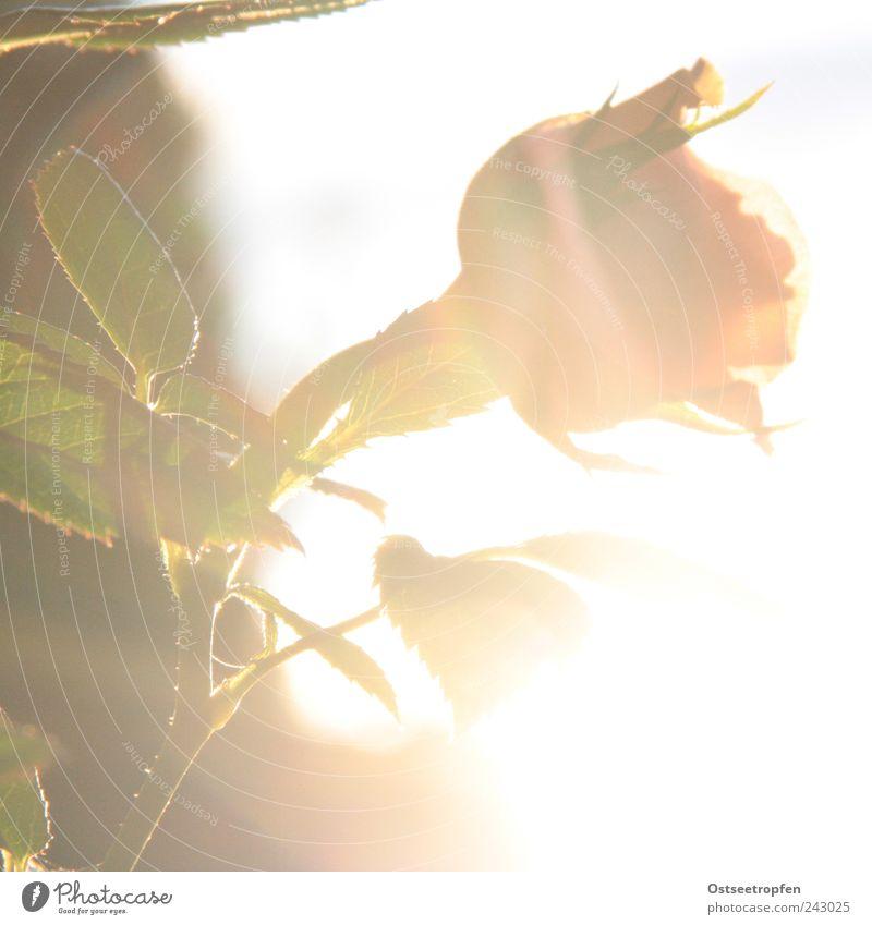 sunflower Natur Pflanze Luft Sonne Sonnenlicht Sommer Schönes Wetter Blume Rose Blatt Blüte Garten Duft Fröhlichkeit frisch schön Kitsch positiv stachelig blau