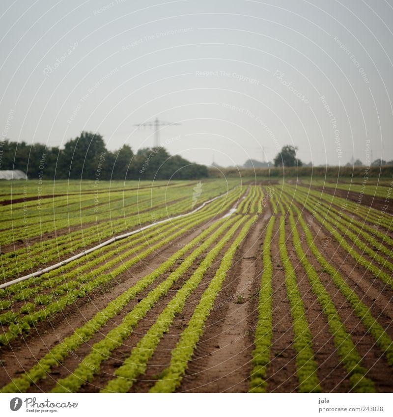 salat Lebensmittel Salat Salatbeilage Ernährung Bioprodukte Landwirtschaft Forstwirtschaft Natur Landschaft Pflanze Himmel Baum Sträucher Grünpflanze