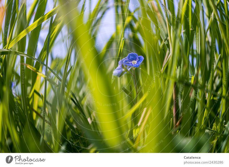 Zwischen Gräser Natur Pflanze Himmel Sommer Schönes Wetter Blume Gras Blatt Blüte Halm Wiese Blühend Wachstum schön blau grau Stimmung Fröhlichkeit Leichtigkeit