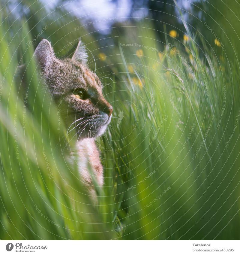 Wiesenkatze Natur Pflanze Tier Sommer Blume Gras Sumpf-Dotterblumen Haustier Katze 1 beobachten sitzen schön blau braun gelb grün Zufriedenheit Wachsamkeit