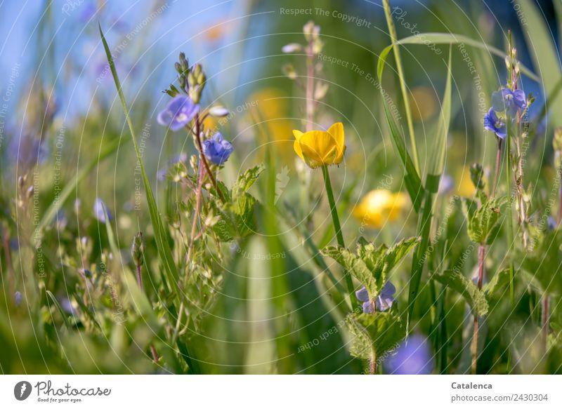Blaue und gelbe Wiesenblumen Natur Pflanze Himmel Sommer Schönes Wetter Gras Blatt Blüte Wildpflanze Sumpf-Dotterblumen Ehrenpreis Blühend Wachstum Zusammensein