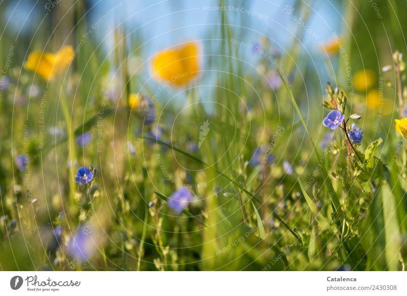 Wiesenblumen Natur Pflanze Himmel Sommer Schönes Wetter Blume Gras Blatt Blüte Gräserblüte Ehrenpreis Butterblume Sumpf-Dotterblumen Blühend verblüht Wachstum