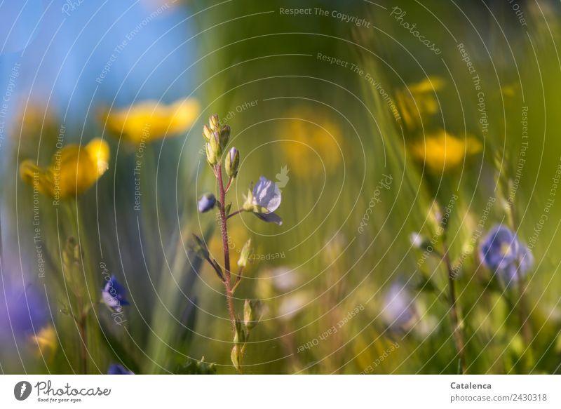 Butterblumen und Ehrenpreis Himmel Natur Sommer Pflanze blau schön grün Blume Blatt gelb Umwelt Blüte Wiese Gras braun Design