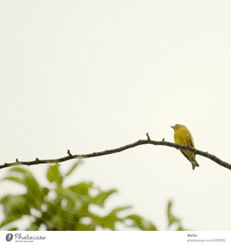 Lockvogel Umwelt Natur Pflanze Tier Ast Zweig Vogel 1 hocken Blick sitzen frei hell klein natürlich niedlich Pause Perspektive Farbfoto Außenaufnahme