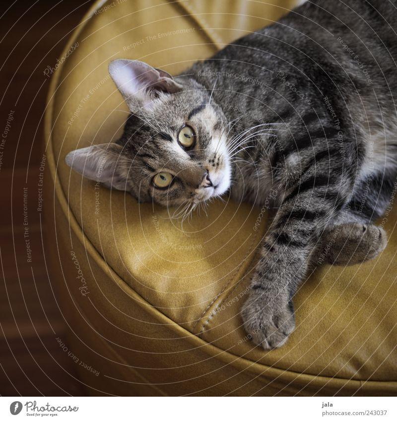 oh! Tier Haustier Katze Tiergesicht Pfote 1 Blick Farbfoto Innenaufnahme Menschenleer Tag Tierporträt Blick in die Kamera
