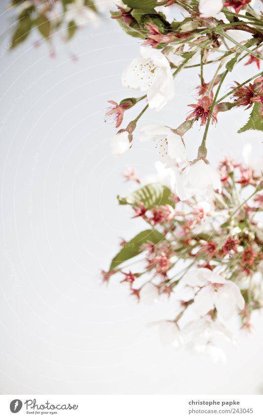 in voller Blüte Frucht Bioprodukte Natur Pflanze Frühling Baum Blatt Grünpflanze Nutzpflanze Park Feld Blühend natürlich schön Kirschbaum Apfelbaum Kirschblüten