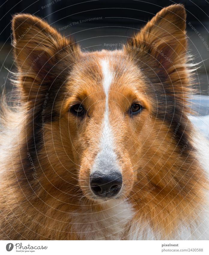 Collie Tier Haustier Hund Fell 1 beobachten Freundlichkeit niedlich schön braun schwarz weiß Freundschaft Tierliebe sable Hundekopf Schäferhund Lassie Farbfoto