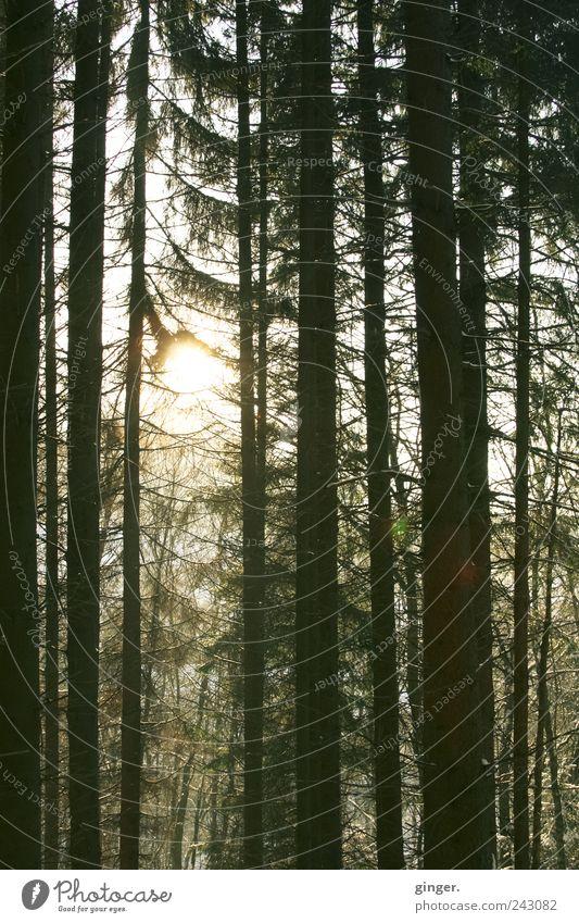 Licht ins Dunkel Natur Pflanze Baum Sonne Wald Umwelt dunkel Beleuchtung geschlossen hoch erleuchten Baumstamm Blendenfleck Nadelbaum durchdringen