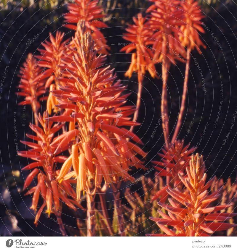 Flaschenputzer Umwelt Natur Pflanze Sommer Blume Wildpflanze außergewöhnlich Duft exotisch schön natürlich Frühlingsgefühle Farbfoto Außenaufnahme Menschenleer