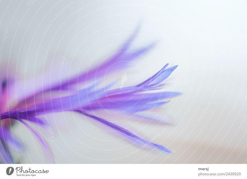 Vom Feinsten Leben harmonisch Meditation Natur Pflanze Frühling Blüte Wildpflanze Flockenblume Bergflockenblume Blühend außergewöhnlich dünn authentisch klein