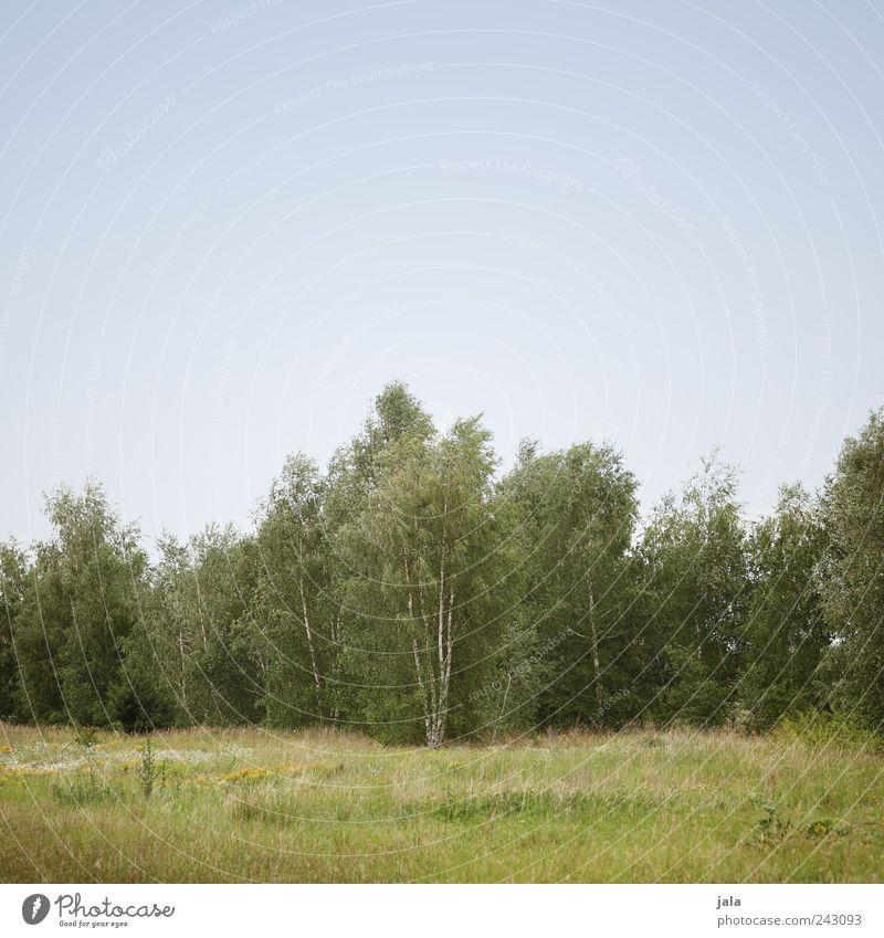 birken Natur Himmel Baum grün blau Pflanze Wald Wiese Gras Landschaft natürlich Grünpflanze Birke Wolkenloser Himmel Wildpflanze