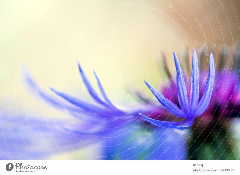Fein und zart Leben Pflanze Frühling Blume Blüte Wildpflanze Bergflockenblume Blühend ästhetisch dünn authentisch elegant Zusammensein natürlich violett