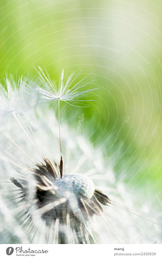 Aufrecht Leben harmonisch ruhig Natur Frühling Schönes Wetter Pflanze Löwenzahn Samen dünn authentisch Erfolg Kraft Mut Fortpflanzung weiß grün fein zart