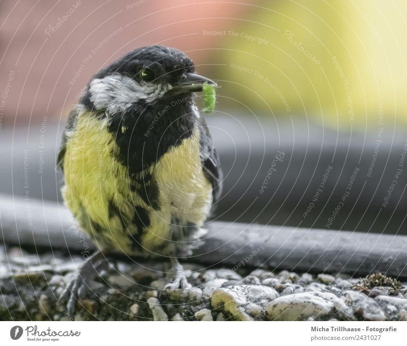 Kohlmeise mit Raupe im Schnabel Natur grün Sonne weiß Tier schwarz gelb natürlich Vogel Wildtier sitzen Schönes Wetter Flügel beobachten nah fangen