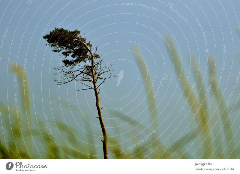 Weststrand Natur Himmel Baum Pflanze Gras Landschaft Küste Umwelt Wachstum wild natürlich Darß Wolkenloser Himmel Windflüchter