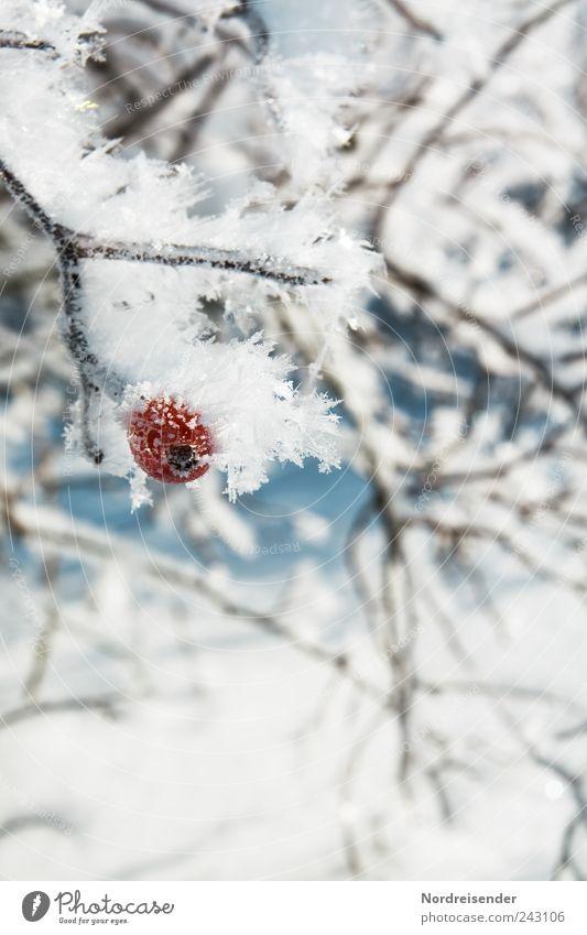 Kalt Natur Pflanze Winter Leben kalt Schnee Eis Wetter Frucht ästhetisch Frost Sträucher Klima Ernte frieren Beeren