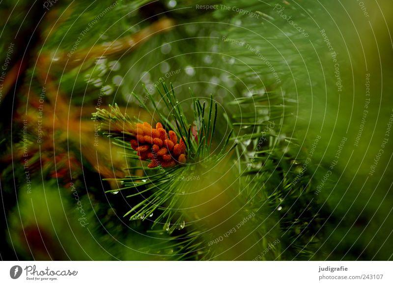 Wald Umwelt Natur Pflanze Klima Wetter schlechtes Wetter Regen Baum Sträucher Kiefer Wachstum nass natürlich grün Farbfoto Außenaufnahme Tag