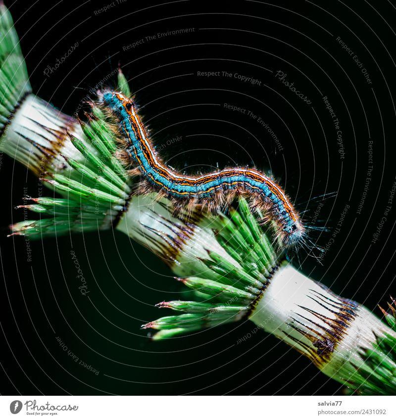 Kontrast Natur Pflanze Grünpflanze Schachtelhalm Tier Larve Raupe Insekt 1 Spitze weich blau grün orange weiß Design Farbe Strukturen & Formen anpassungsfähig