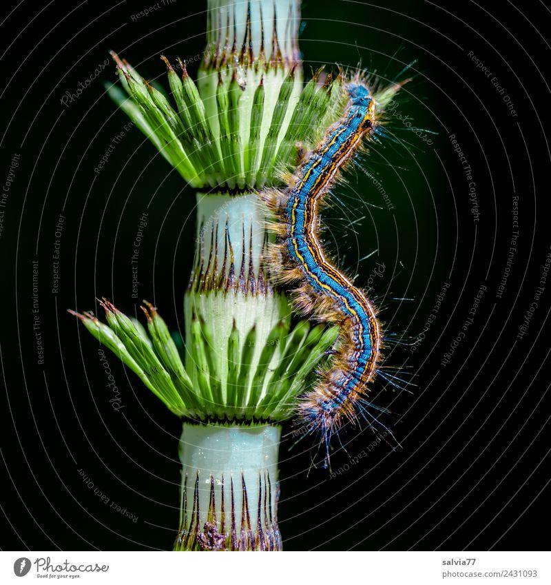 Haare und Stacheln Umwelt Natur Pflanze Farn Blatt Schachtelhalm Tier Raupe Larve Insekt 1 ästhetisch außergewöhnlich Spitze weich bizarr Design Kunst Symmetrie