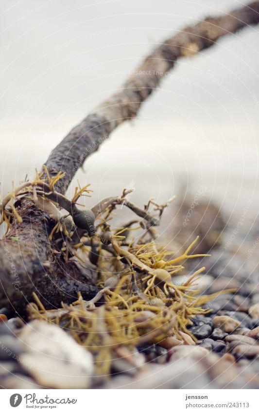 Meerjungfrauenhaar Umwelt Natur Pflanze Stein Holz nass natürlich Strandgut Algen Farbfoto Gedeckte Farben Außenaufnahme Nahaufnahme Detailaufnahme Muster
