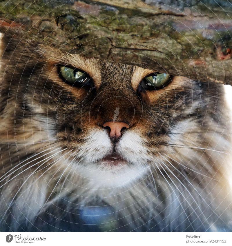 Augenblick Umwelt Natur Pflanze Tier Baum Haustier Katze Tiergesicht Fell 1 hell nah natürlich schön weich braun grün weiß Momentaufnahme Hauskatze Schnurrhaar