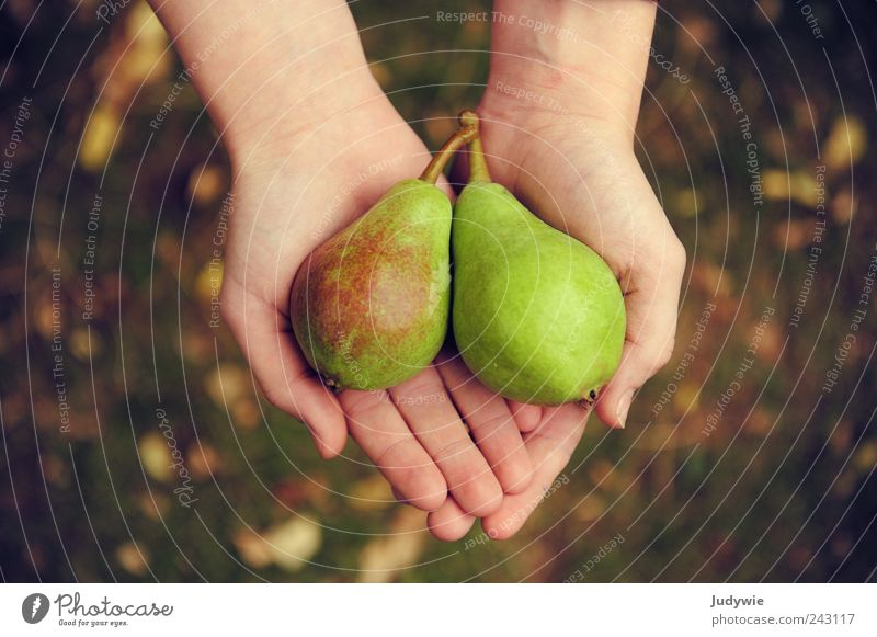 Unterm Birnbaum Lebensmittel Frucht Ernährung Bioprodukte Vegetarische Ernährung Diät Reichtum Glück Gesundheit harmonisch Hand Umwelt Natur Sommer Herbst