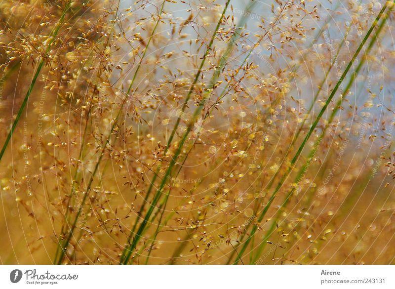 Sommergräser Umwelt Natur Pflanze Himmel Schönes Wetter Gras Halm Wiese Bewegung verblüht Wachstum natürlich blau gold grün ruhig schwach zart zierlich filigran