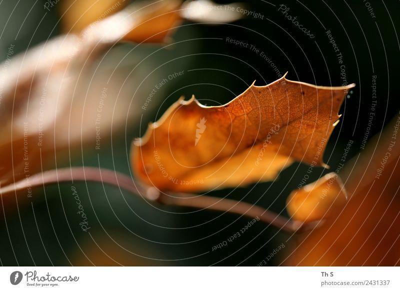 Blatt Natur Pflanze Frühling Sommer Herbst Bewegung Blühend verblüht ästhetisch authentisch einfach elegant Fröhlichkeit frisch natürlich braun grün orange