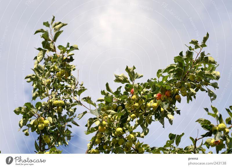 Apfelbäumchen Natur Himmel grün blau Pflanze Blatt Wolken klein Frucht Apfel Landwirtschaft Schönes Wetter Forstwirtschaft Zweige u. Äste verzweigt unreif