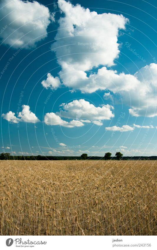 erntezeit Getreide Ernährung wandern Landwirtschaft Forstwirtschaft Landschaft Pflanze Himmel Wolken Schönes Wetter Nutzpflanze Feld Wachstum trocken blau Ferne