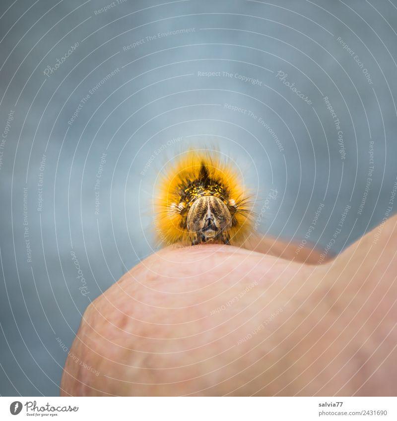 Raupengesicht Hand Tier Gesicht außergewöhnlich Kopf grau orange braun Behaarung Wildtier beobachten Wandel & Veränderung Insekt Tiergesicht skurril krabbeln
