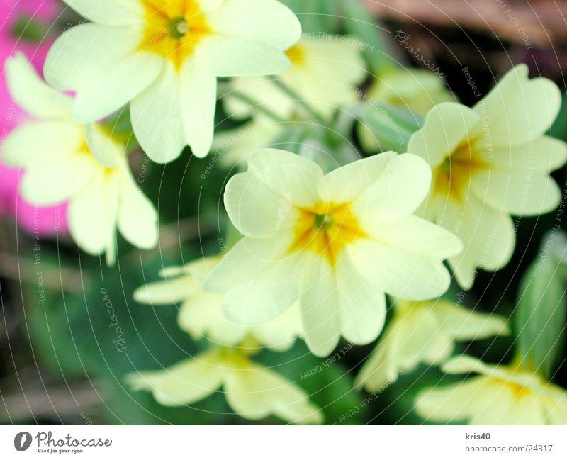 Himmelschlüssel Blume Frühling Blüte Natur Garten